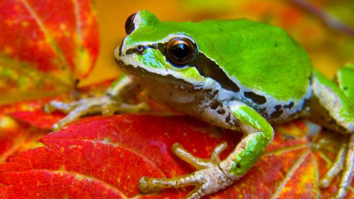 Tree Frog on a Vine Maple Leaf, Olympic National Park