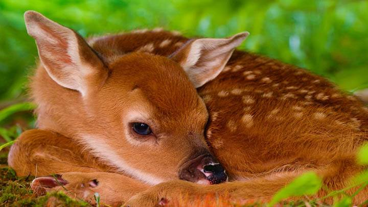 Two-Day-Old Baby White-Tailed Fawn