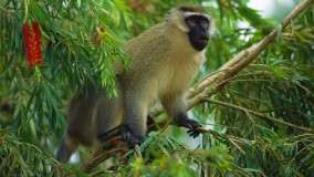 Vervet Monkey, East Africa
