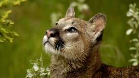 Watchful Cougar, Montana