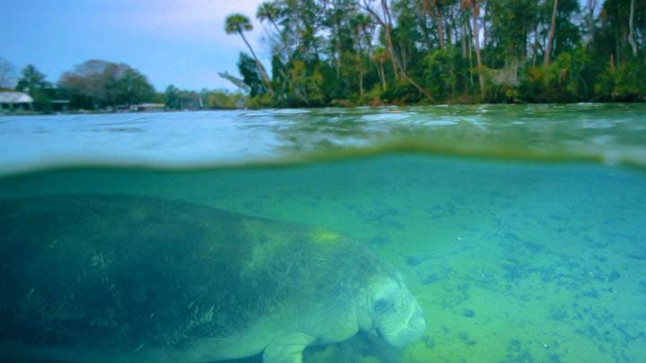 West Indian Manatee, Crystal River