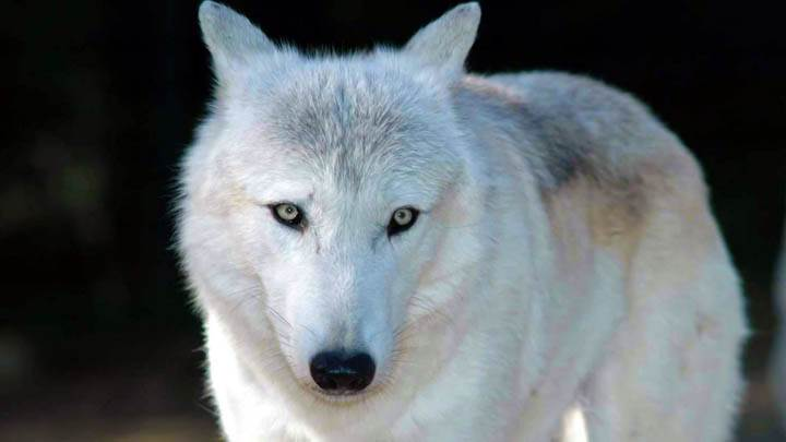 White Wolf Facing Camera