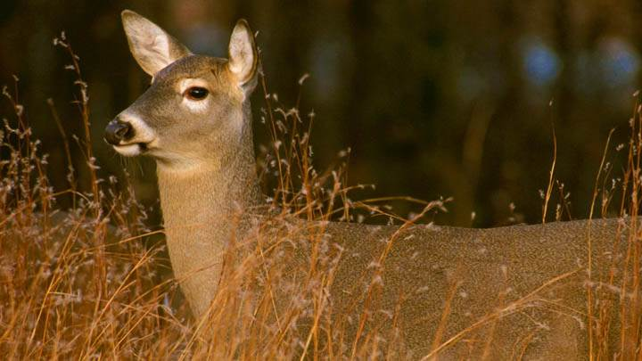 White-tailed Deer, Michigan