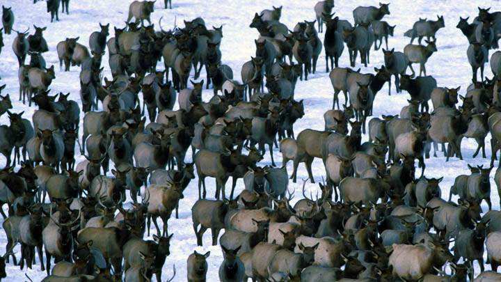 Winter Elk Herd, Grand Teton National Park
