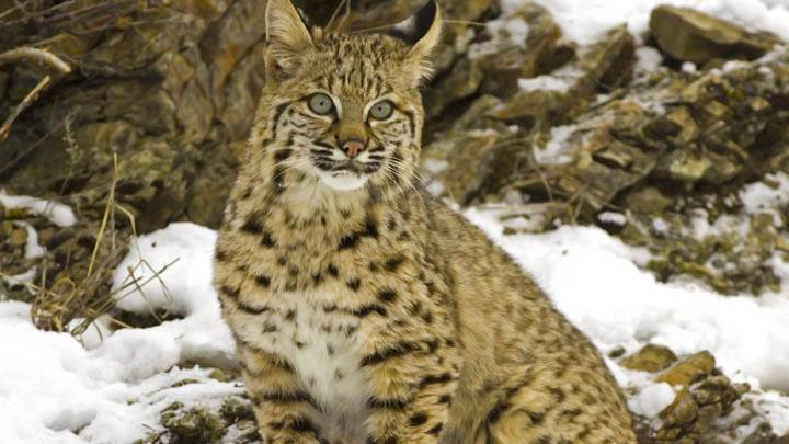 Winter Snow Bobcat