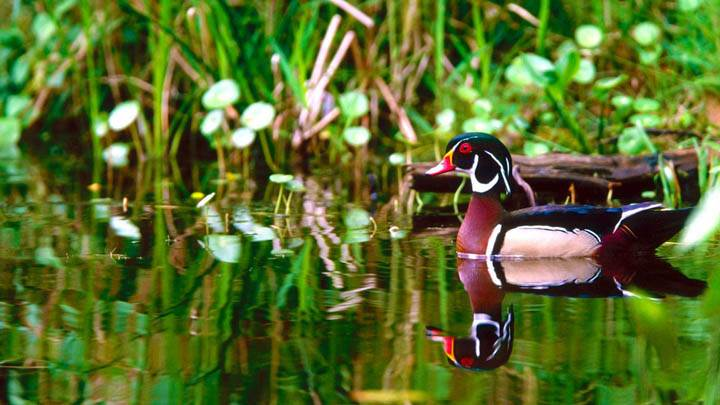 Wood Duck Drake in Marsh