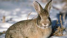 Young Cottontail