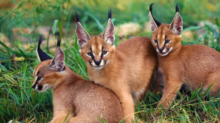 Three Caracals