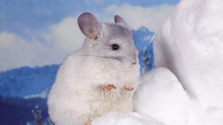 Cute Little Chinchilla
