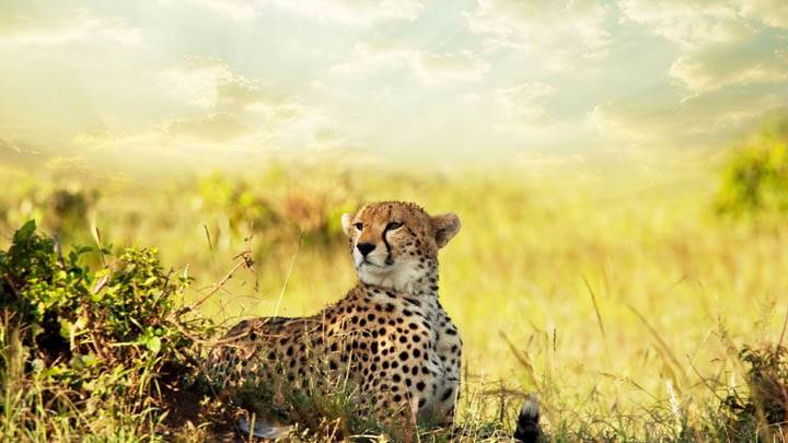 Cheetah Looking Somewhere, Savanna Africa