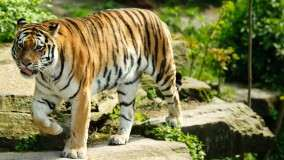 A Lovely Tiger