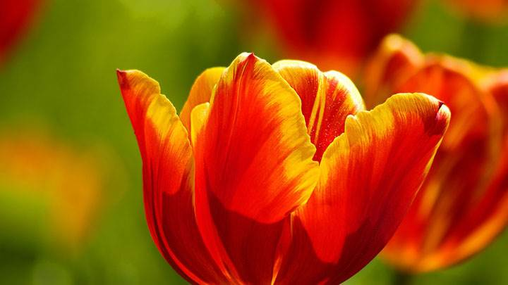 Beautiful Red & Yellow Tulips