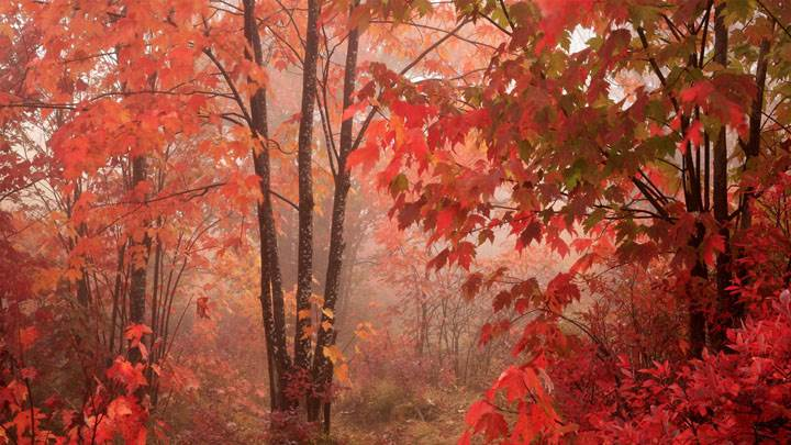 Red Forest Tree