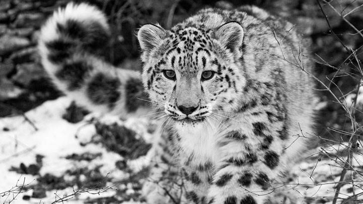 Snow Leopard Black N White