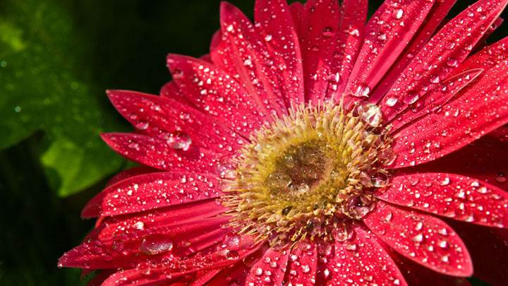 Water Drops Red Sunflower