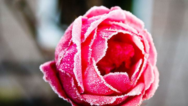 Pink Frozen Rose