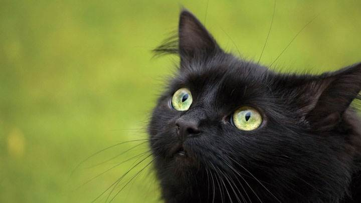 Black Cat In Green Eyes And Green Background