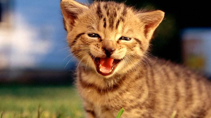 Little Cat Laughing In Field