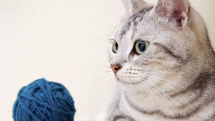Side Face Of Cat With Blue Woolen