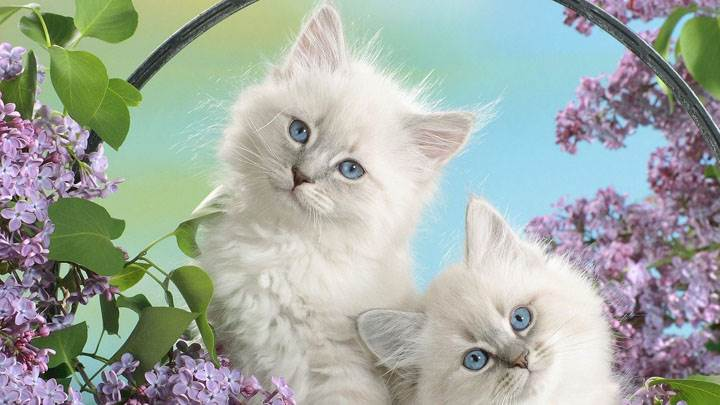 Two Innocent White Catty And Blue Eyes In Garden