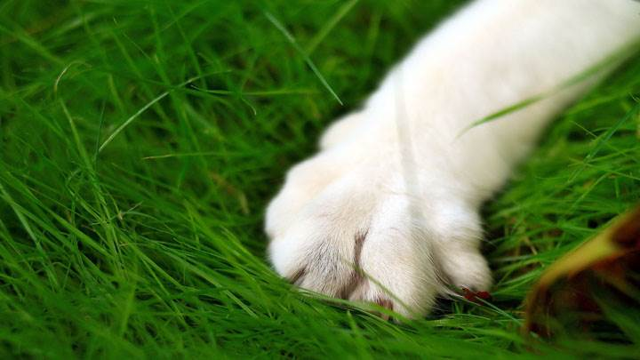 White Dog Paw Closeup On Green Grass