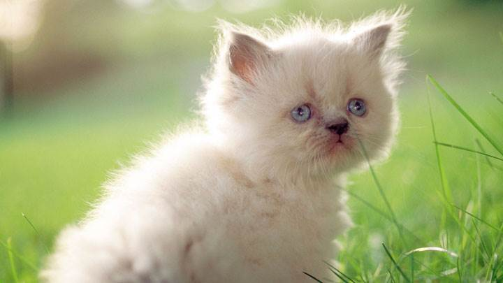 White Innocent Sweet Cat And Blue Eyes In Field