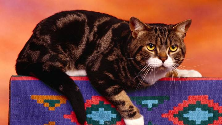 Brown Cat Sitting On A Carpet