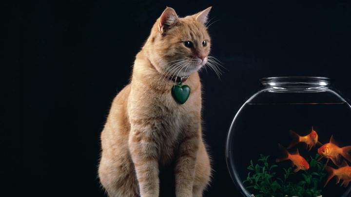Brown Cat Sitting Pose With Aquarium