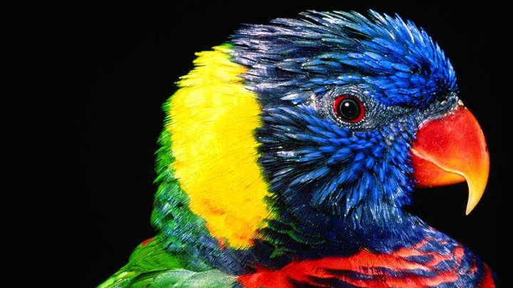 Colorful Parrot Closeup Face