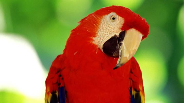 Red Parrot Looking Very Cute Wallpaper