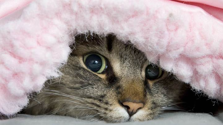 A Cat Under The Blanket Looking Cute