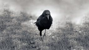 Black And White Pciture Of A Crow