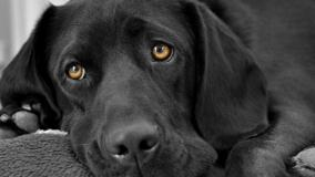Black Labrador Face Closeup