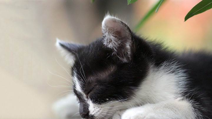Black N White Cat Sleeping Closeup