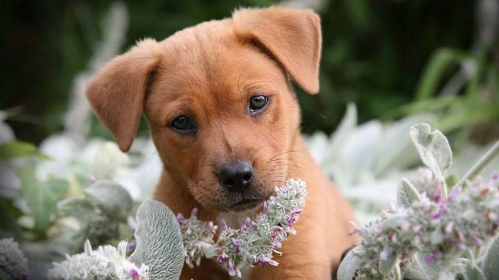 Brown Little Puppy In Flowers