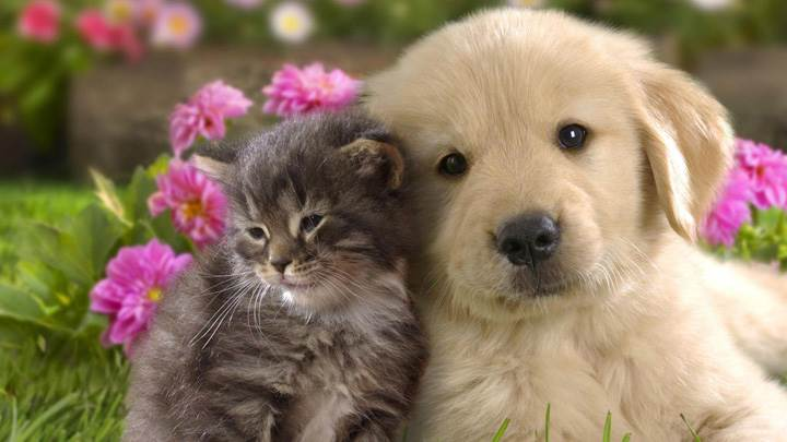 Cat Doing Love With A Labrador Puppy