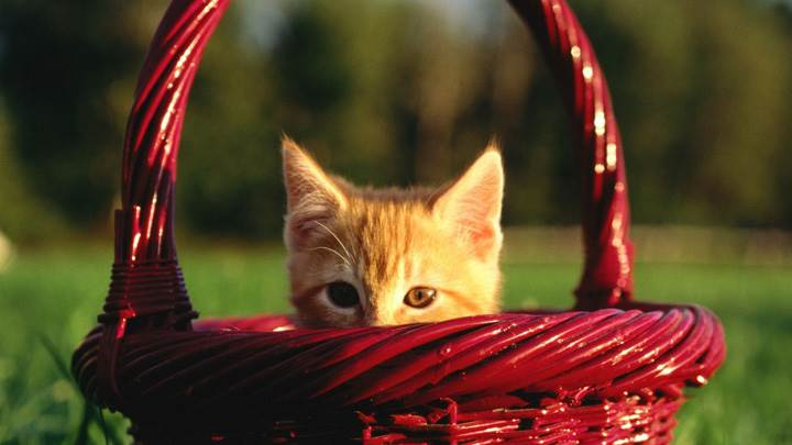 Cat In A Red Basket