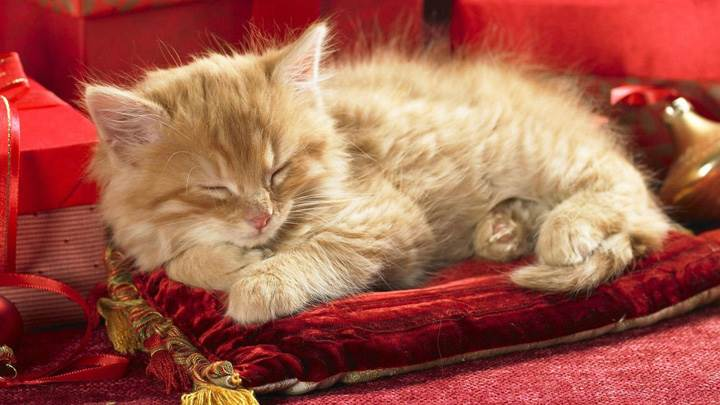Cat Is Sleeping On Red Pillow