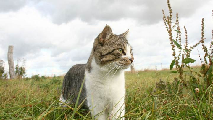 Cat Looking For Something In Fields