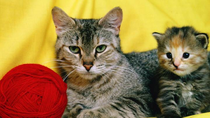 Cat With Mommy Sitting Near Red Woolen Ball