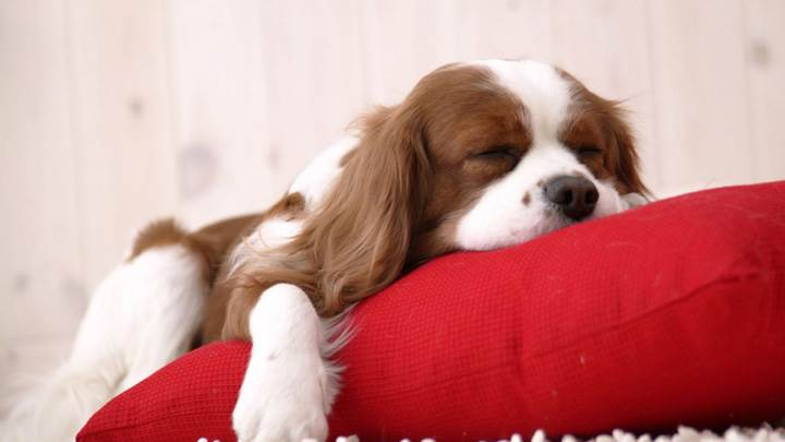 Cutie Doggy Is Sleeping On Red Pillow