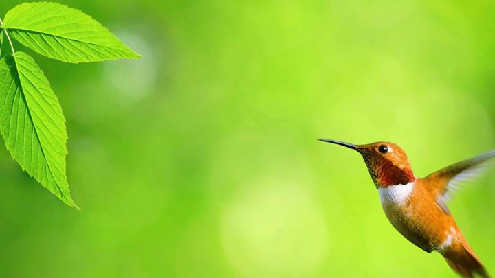 Flying Brown Bird With Green Background