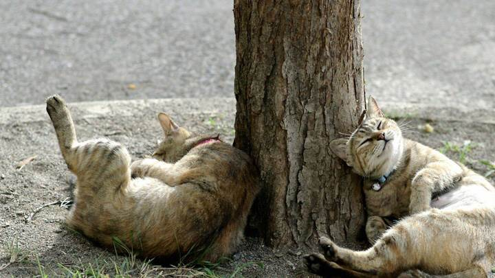 Funny Pose Of Drunken Cats Near Tree