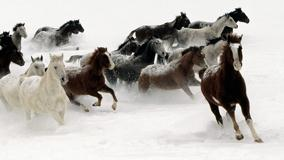 Horses Running And White Background