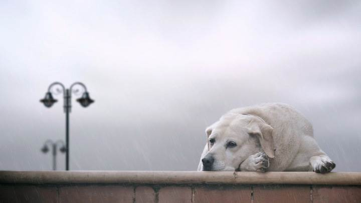 Lonely White Labrador