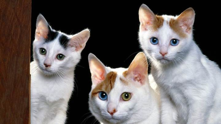 Three White Cats Looking Sweet