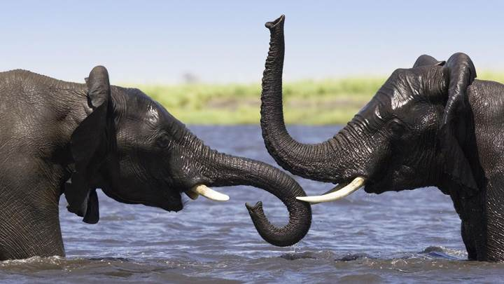 Two Elephant In River Enjoying The Bath