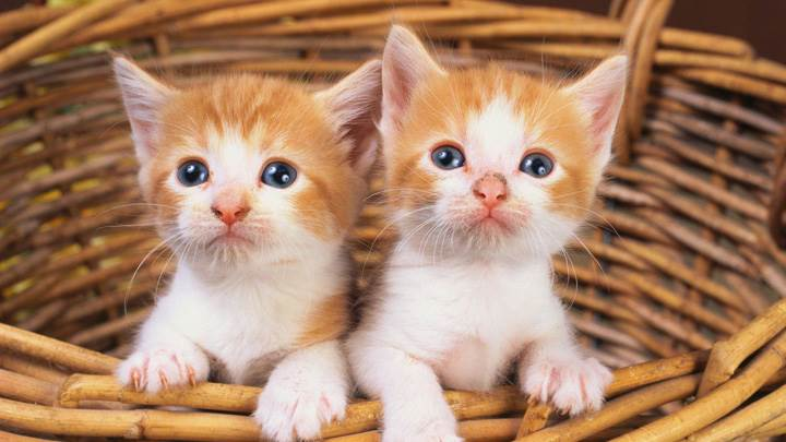 Two Small Brown White Cats In Basket