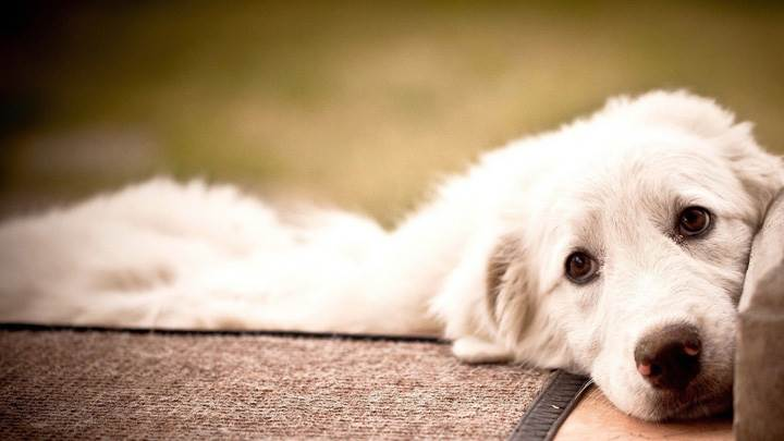 White Innocent Cute Dog Laying Pose
