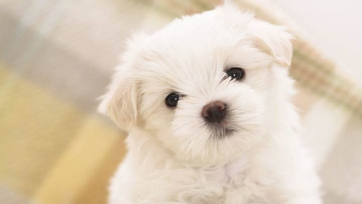 White Sweet Puppy Closeup Pic